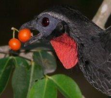 jacu-bird